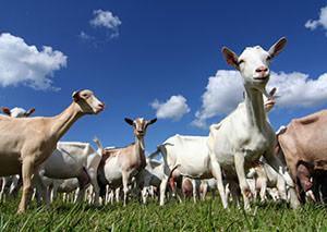 Goat antibodies - custom antibody development