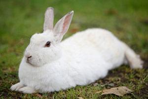 Rabbit antibodies - custom polyclonal antibody development